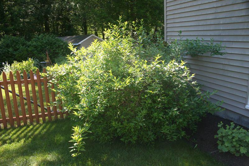fosythia bush