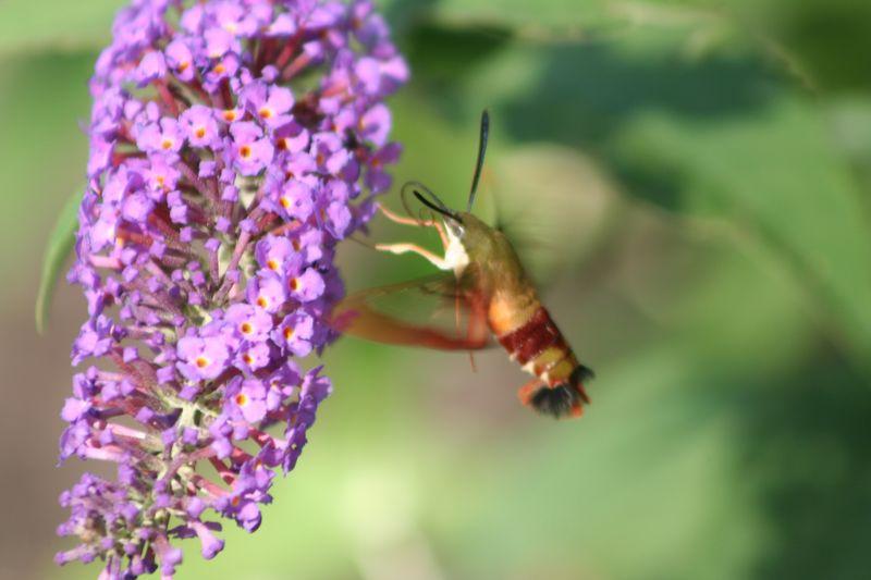 Hummingbird moth flying