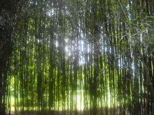 bamboo forest, climate change