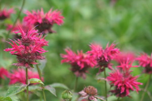 bee balm, save the bees